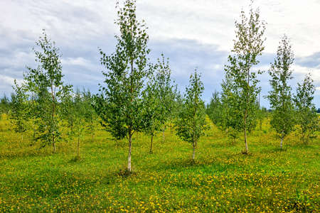 beautiful young birch grove in spring with flowering dandelion meadow in the foreground