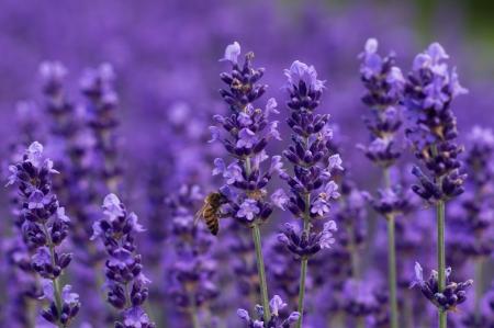 Honey bee on lavender flowers Stock Photo