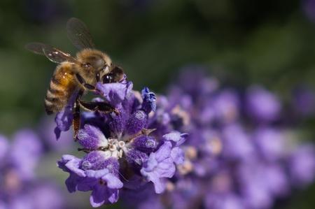 Honey Bee pollenating lavender flowers