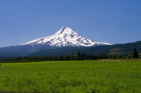 monta�as nevadas: Pastos con vista del Monte Hood con vacas y hermoso cielo azul