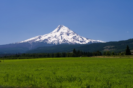 Pasture with view of Mt. Hood with cows and beautiful blue sky photo