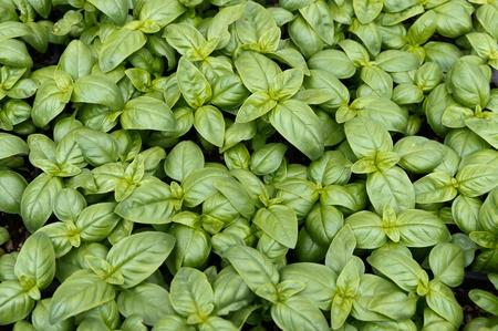農夫の市場でディスプレイ上のバジルの植物