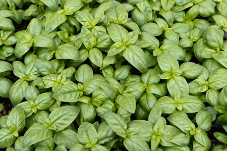 Basil plants on display at the farmers market