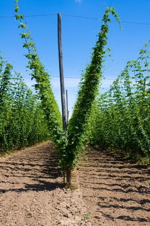 Field of hop plants growing on trellis photo