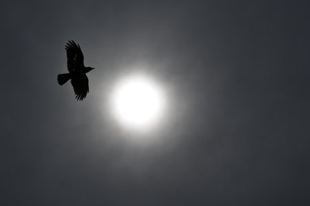 Raven circling the sun in silhoutte photo