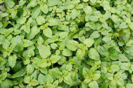 Cataire plantes pr�tes pour la cueillette