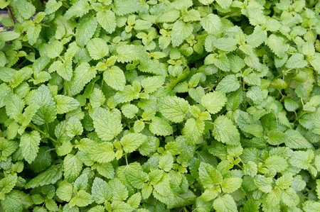 Catnip plants ready for picking Stock Photo