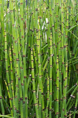 horsetail: Scouring Rush or Horse-tail