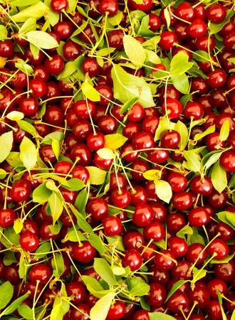 Fresh picked sour pie cherries on display at the farmer