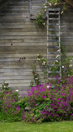 Rose bush climbing an old ladder on the side of a barn