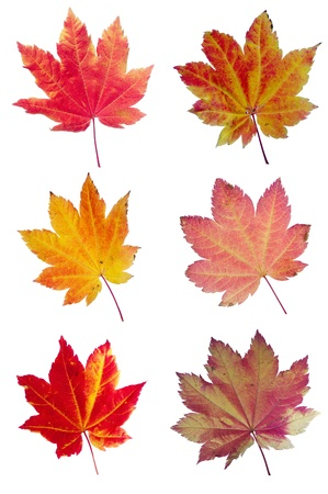 secular: Colorful assortment of fall Vine Maple leaves isolated on white Stock Photo