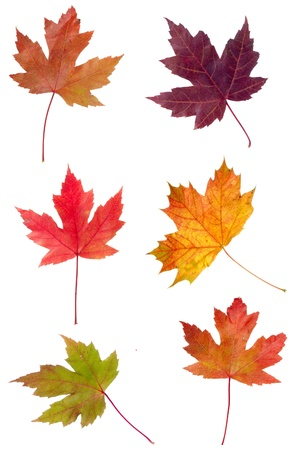 Colorful assortment of fall Maple leaves isolated on white Stock Photo - 10997634