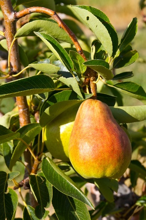 A fresh ripe Bartlett pear on the tree ready to be picked photo