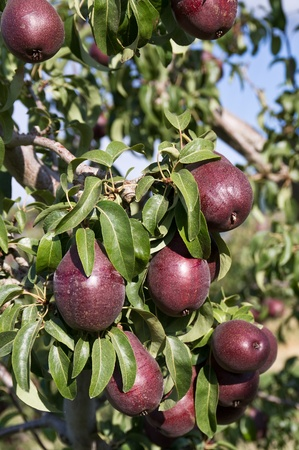 Fresh red ripe pears on tree ready for harvest photo