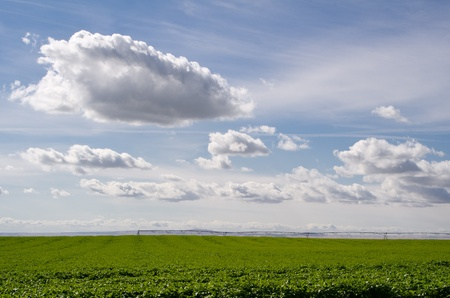 A field of potatoes is being irrigated under a sky with white clouds photo