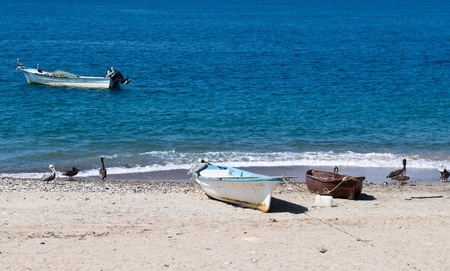A group of fishing boats on the beach accompanied by pelicans