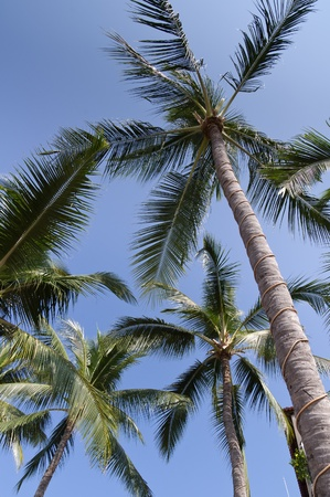 dramatically: A group of palm trees dramatically lighted by a blue sky