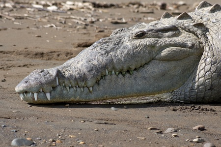 An American Crocodile suns itself and shows its teeth on a river bank in Costa Rica