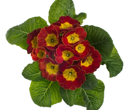 Red and yellow flowering primrose isolated on white