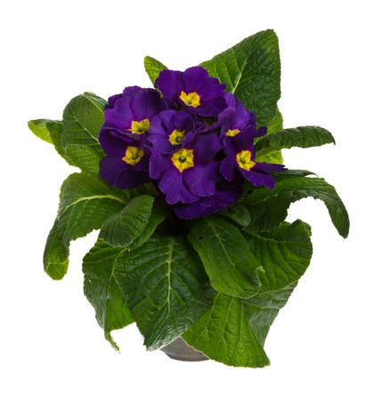 Blooming potted purple primrose isolated on white