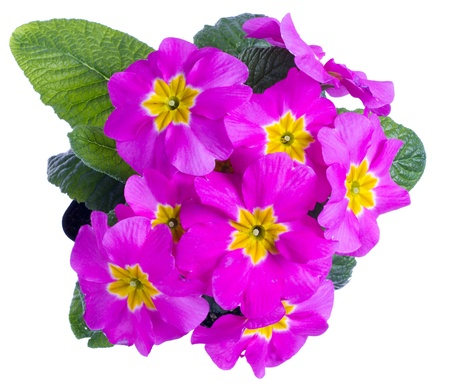 A large pink flowered primrose isolated on white