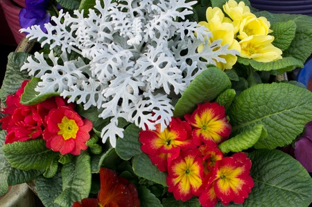 A spring flower arrangement with red and yellow primroses stock a spring flower arrangement with red and yellow primroses stock photo 12929507 mightylinksfo