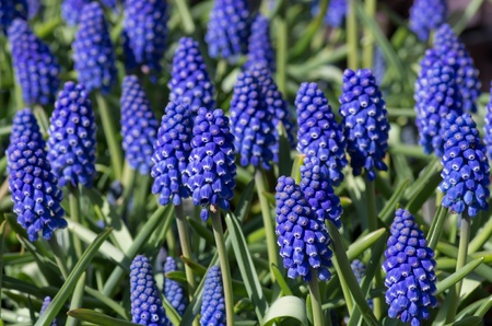 Spring blooming purple Grape Hyacinths photo