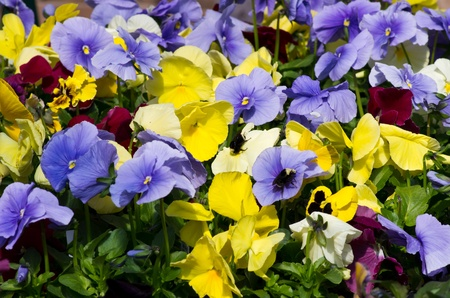 Pansy flowers blooming brightly on a spring day