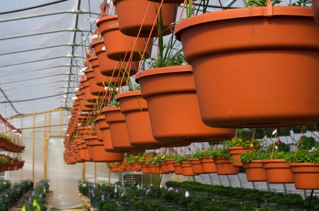 A row of hanging baskets growing in a greenhouse in early spring