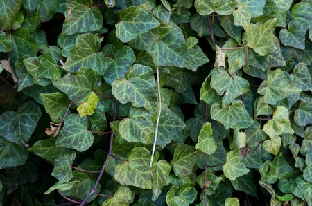 invasive species: Hedera helix a vining invasive plant used as an ornamental Stock Photo