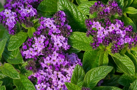 A group of purple heliotrope flowers in bloom Stock Photo
