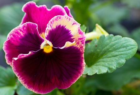 A single pansy bloom with green leaves Stock Photo