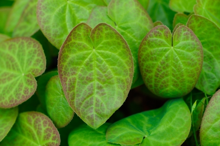 ground cover: A group of epimedium leaves provide ground cover in a shady flower bed
