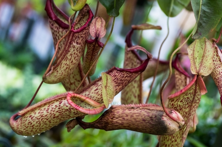 A carnivorous pitcher plant showing pitchers and vines