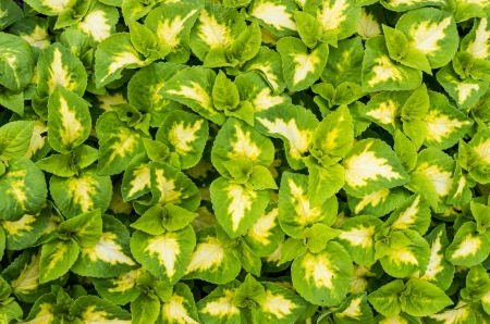 A display green and white leaved coleus plants
