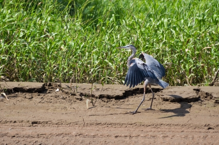 great blue heron: A great blue heron comes in for a landing