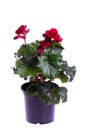 A red blooming begonia in a pot isolated on white photo
