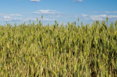 A field of wheat or grain growing under blue sky