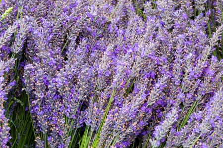 lavendar: Bunches of lavendar flower stems on display at the farmers market