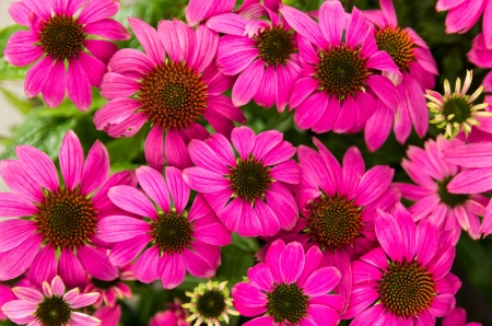 Blooming echinacea or cone flowers with purple petals and dark centers photo