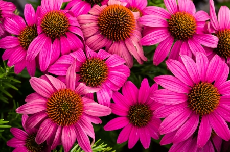 Blooming echinacea or cone flower with purple petals and dark centers
