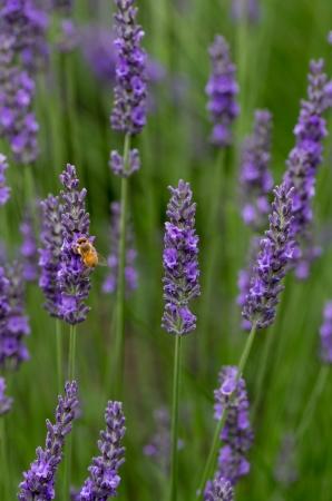 Lavendar flowers with honey bee pollenating
