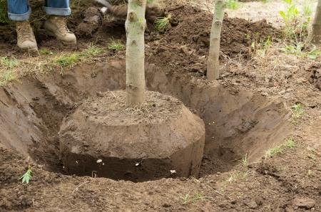 Travailleur creuse un arbre � la main en utilisant une b�che ou une pelle