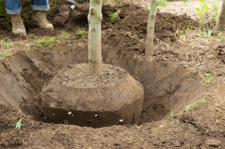 Worker digs a tree by hand using a spade or shovel