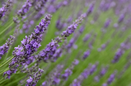 A field of purple lavender flowers with close focus on one stem photo