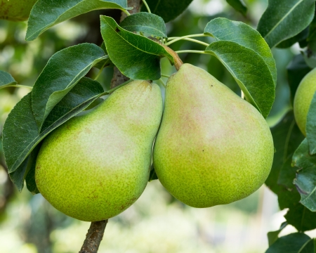 Ripe bartlett pears hanging on the tree ready for harvest