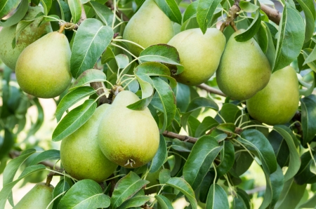 Maduras peras Bartlett en el árbol en el huerto Foto de archivo