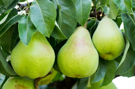Three Bartlett pears on the tree in the orchard Stock Photo