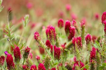 red clover: A field of red clover plants in bloom