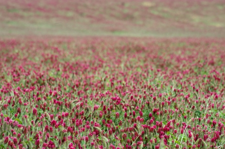 red clover: Field of blooming red clover as background Stock Photo
